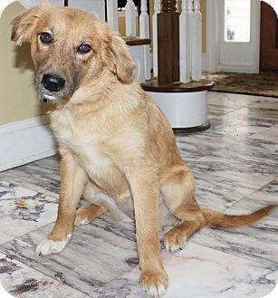 Golden Retriever Mix Puppy for adoption in Chapel Hill, North Carolina - Lindi
