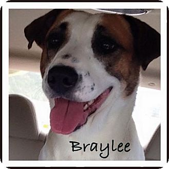 Pointer/Hound (Unknown Type) Mix Dog for adoption in SOUTHINGTON, Connecticut - BRAYLEE