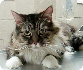 Maine Coon Cat for adoption in Parma, Ohio - Oliver