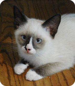 Ragdoll Kitten for adoption in Davis, California - Luke