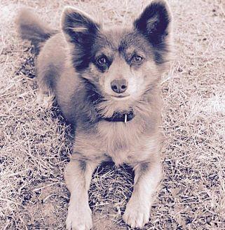 Pomeranian/Spaniel (Unknown Type) Mix Dog for adoption in Surrey, British Columbia - Foxy