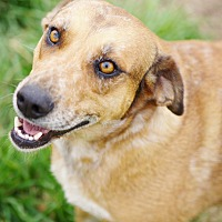 Catahoula Leopard Dog/Cattle Dog Mix Dog for adoption in Iola, Texas - Mia
