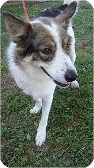 Australian Shepherd Mix Dog for adoption in Lavon, Texas - Rocky