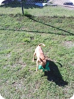 Chihuahua Mix Dog for adoption in Sand Springs, Oklahoma - Daphnie