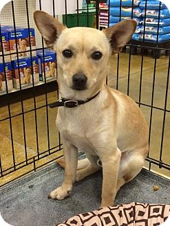 Chihuahua/Terrier (Unknown Type, Small) Mix Puppy for adoption in Sacramento, California - Duke