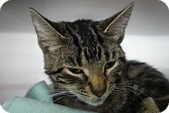 Domestic Shorthair Kitten for adoption in Elyria, Ohio - Acorn
