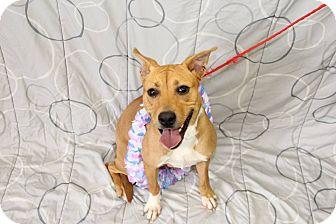 Pit Bull Terrier Mix Dog for adoption in Greensboro, North Carolina - Marcella