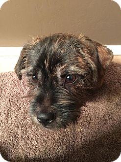Schnauzer (Miniature)/Boston Terrier Mix Dog for adoption in Mary Esther, Florida - Deuce