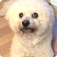 Adopt A Pet :: Cubby Bear - East Hanover, NJ