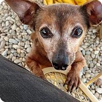 Adopt A Pet :: Abbi - Wilmington, OH