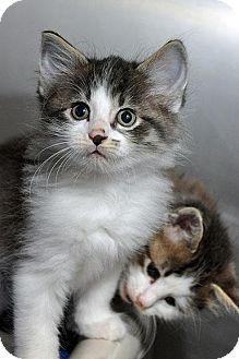 Domestic Longhair Kitten for adoption in Fort Leavenworth, Kansas - Bolt-adoption pending