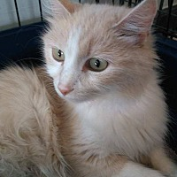 Adopt A Pet :: Sassy - Jefferson, NC