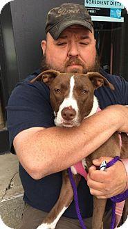 American Staffordshire Terrier Mix Dog for adoption in Whitestone, New York - Cinnamon