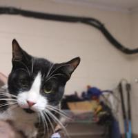Domestic Shorthair/Domestic Shorthair Mix Cat for adoption in Daytona Beach, Florida - Dayne