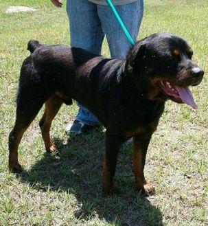 Rottweiler Mix Dog for adoption in Dublin, Georgia - Leonidas