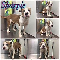 Adopt A Pet :: SHARPIE--URGENT - Plainfield, CT