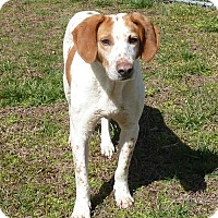 Hound (Unknown Type) Dog for adoption in Ashland, Virginia - Rufus
