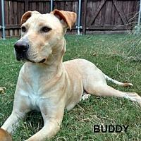 Adopt A Pet :: Buddy II - Denton, TX