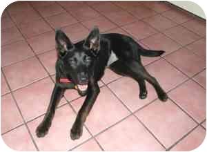 Labrador Retriever Mix Dog for adoption in Cincinnati, Ohio - Sally