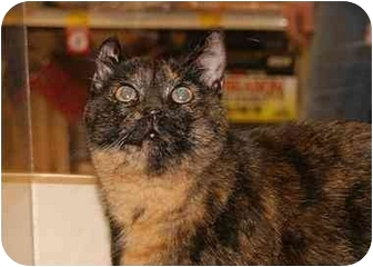 Domestic Shorthair Cat for adoption in Englewood, Florida - Bear
