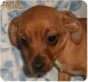 Chihuahua/Terrier (Unknown Type, Small) Mix Puppy for adoption in Ozark, Alabama - Taylor
