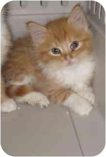Domestic Mediumhair Kitten for adoption in Randolph, New Jersey - Ollie