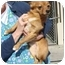 Photo 2 - Pomeranian/Chihuahua Mix Dog for adoption in Spring Valley, New York - Roscoe (POM)