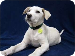 Pointer/Australian Cattle Dog Mix Puppy for adoption in Westminster, Colorado - OAKLEY