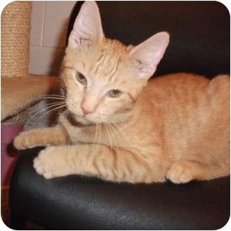 Domestic Shorthair Kitten for adoption in Edwardsville, Illinois - River