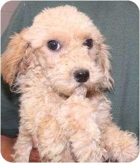 Poodle (Miniature) Mix Dog for adoption in McDonough, Georgia - Preston