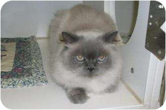 Himalayan Cat for adoption in Bradenton, Florida - Rownan