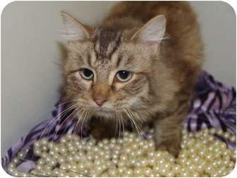 Domestic Mediumhair Cat for adoption in Columbus, Nebraska - Fifi