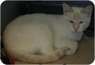 Siamese Cat for adoption in Des Moines, Iowa - Cherokee