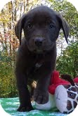 Labrador Retriever/American Staffordshire Terrier Mix Puppy for adoption in Spring Valley, New York - Cocopuff