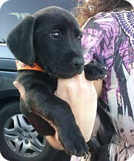 Dachshund/Labrador Retriever Mix Puppy for adoption in Largo, Florida - OBrien
