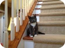 American Shorthair Kitten for adoption in Monroe, North Carolina - Bailey