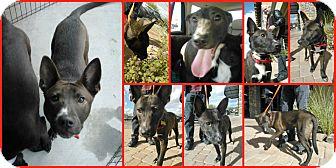 Labrador Retriever/Cattle Dog Mix Puppy for adoption in Scottsdale, Arizona - Griffin