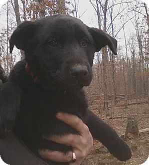 German Shepherd Dog/Labrador Retriever Mix Puppy for adoption in Nashville, Tennessee - Holly