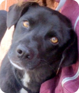 Labrador Retriever/Border Collie Mix Dog for adoption in Los Angeles, California - Eli *VIDEO*