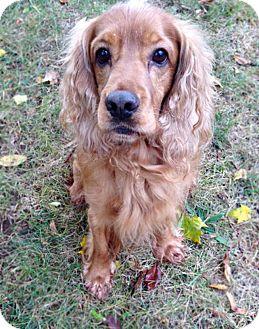 Cocker Spaniel Dog for adoption in Cranford, New Jersey - Leo-ADOPTION PENDING
