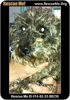 Schnauzer (Miniature)/Poodle (Miniature) Mix Dog for adoption in Boulder, Colorado - Kipling