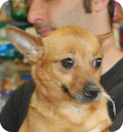 Chihuahua Mix Dog for adoption in Brooklyn, New York - Millie