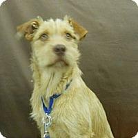 Adopt A Pet :: Dexter - Lockhart, TX