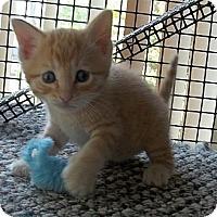 Adopt A Pet :: Ace - Acme, PA