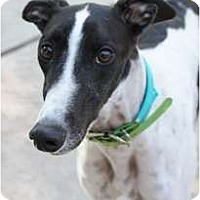 Adopt A Pet :: Lexi - Philadelphia, PA