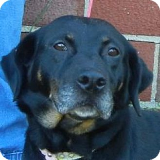 Beauceron Mix Dog for adoption in Des Moines, Iowa - Goldie