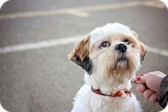 Lhasa Apso Dog for adoption in Sheridan, Oregon - Tucker