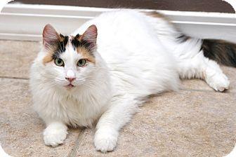 Domestic Mediumhair Cat for adoption in San Antonio, Texas - Persimmon
