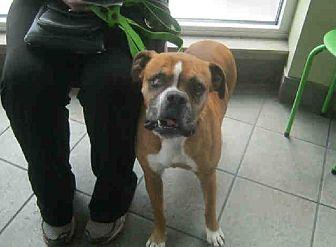 Boxer Dog for adoption in Austin, Texas - Shiner