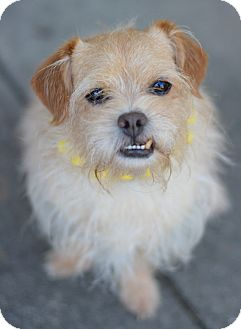 Shih Tzu/Terrier (Unknown Type, Small) Mix Dog for adoption in Glastonbury, Connecticut - Captain